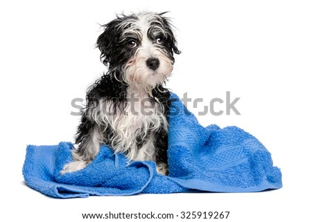 Cute wet havanese puppy dog after bath is sitting on a blue towel, isolated on white background - stock photo