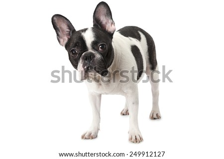 Cute white and black French bulldog with tender look  - stock photo
