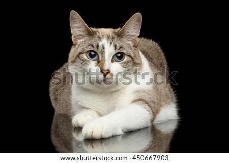 Cute White Cat with Huge Blue eyes, paws in front of him, Lying and Looks Guilty, on Isolated Black Background - stock photo