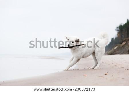 Cute white dog playing with stick on the beach. Polish Tatra Sheepdog, known also as Podhalan or Owczarek Podhalanski - stock photo