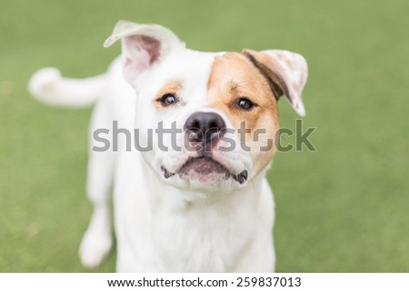 Cute white dog with eye patch grins at the camera - stock photo