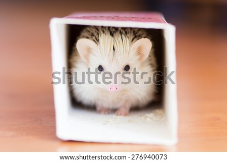 Cute white hedgehog hiding in a box - stock photo