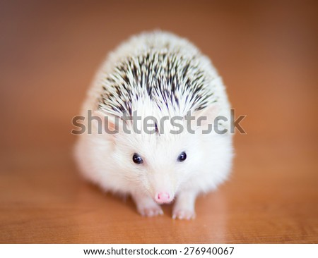 Cute white hedgehog on wooden floor - stock photo