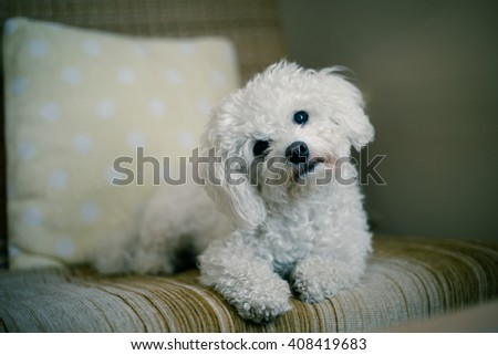 Cute white maltese dog lying at home on a sofa, tilting his head,  asking for your attention - stock photo
