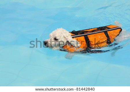 Cute white mini poodle swimming with a float coat in a swimming pool in the summer - stock photo