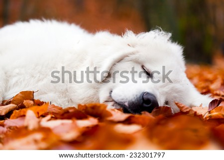 Cute white puppy dog sleeping, relaxing in leaves in autumn, fall forest. Polish Tatra Mountain Sheepdog, known also as Podhalan or Owczarek Podhalanski - stock photo