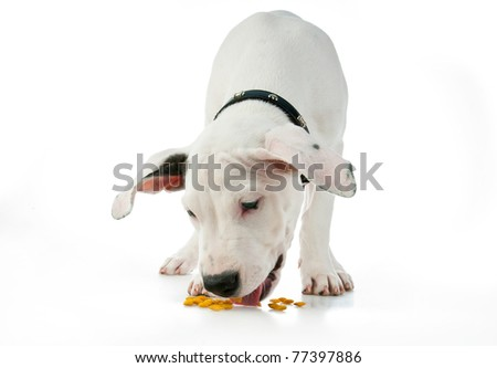 cute white puppy eating dog food - stock photo
