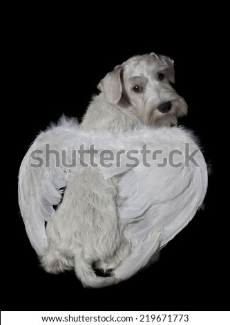 Cute white schnauzer puppy with angel wings on black background - stock photo