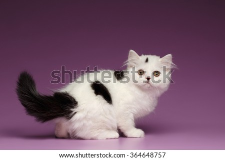 Cute White Scottish straight Kitten Playing and Looking back on Purple Background - stock photo