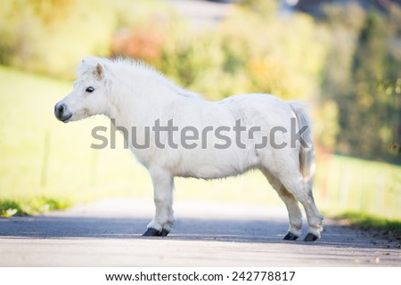 Cute white Shetland pony standing on the road, conformation. - stock photo