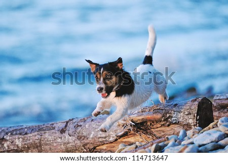 Cute white terrier running along the seashore - stock photo