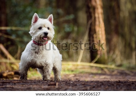 Cute white West Highland Terrier Dog looking alert and playful with blurred nature background. - stock photo