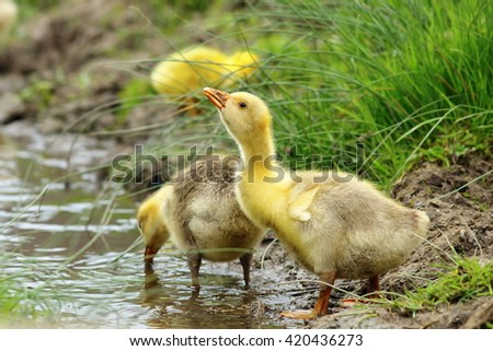 cute yellow gosling drinking water from a pond - stock photo