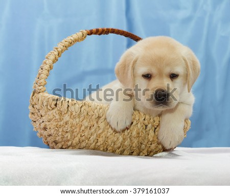 Cute Yellow Labrador retriever puppy sitting in a basket. - stock photo