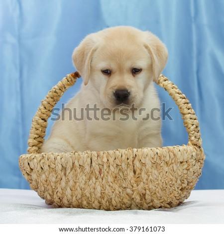 Cute Yellow Labrador retriever puppy sitting in a basket. - stock photo