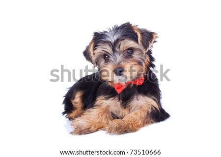 Cute yorkshire puppy with red bow, sitting, isolated - stock photo