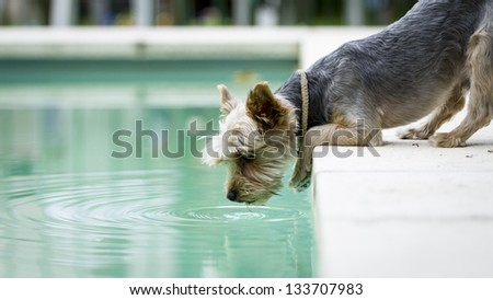 Cute Yorkshire Terrier Dog drinking water from the swimming pool - stock photo
