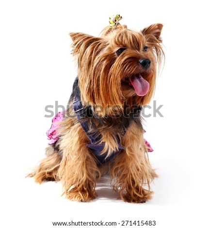Cute Yorkshire terrier dog isolated on white - stock photo