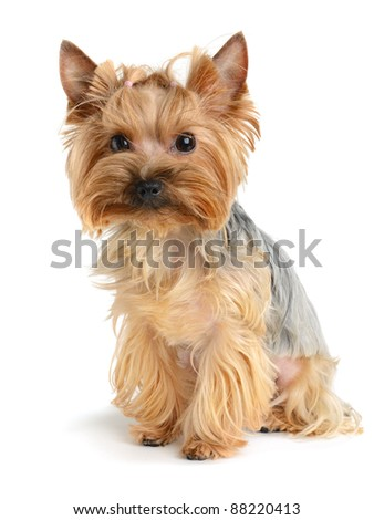cute yorkshire terrier isolated on  white - stock photo