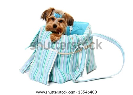 Cute Yorkshire Terrier looking out of designer tote - stock photo