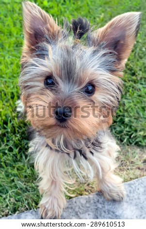 Cute Yorkshire terrier puppy(4 months old) standing in the grass. - stock photo