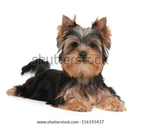 Cute Yorkshire Terrier puppy on the white background - stock photo