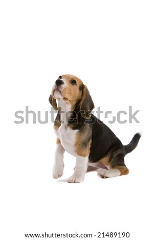 Cute young beagle looking attentive with one leg up - stock photo