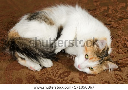 Cute Young Calico Torbie Kitten Cat - stock photo