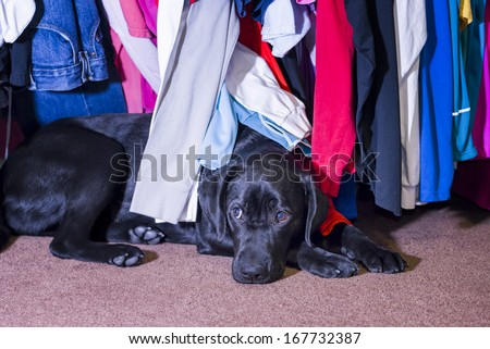 Cute young female black labrador seeking safety and comfort under a clothes rack - stock photo