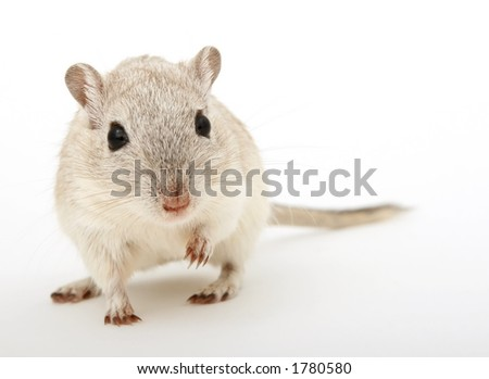 Cute young female rodent isolated on white, macro closeup, close-up with copy space - stock photo