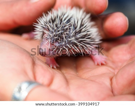 cute young hedgehog few days old - stock photo