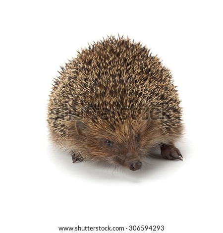cute young hedgehog isolated on white background - stock photo