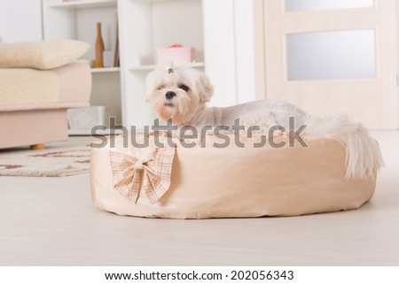 Cute young Maltese laying down on his bed at home - stock photo