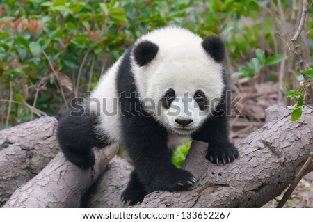 Cute young panda cub - stock photo