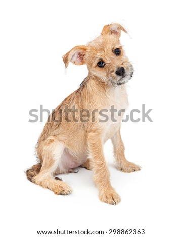 Cute young scruffy terrier breed puppy sitting to the side while looking at the camera and tilting head - stock photo