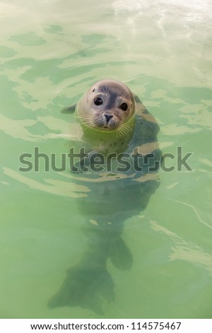 Cute young seal in basin. Swimming and playing in water. Texel. Wadden island. Ecomare. The Netherlands. - stock photo