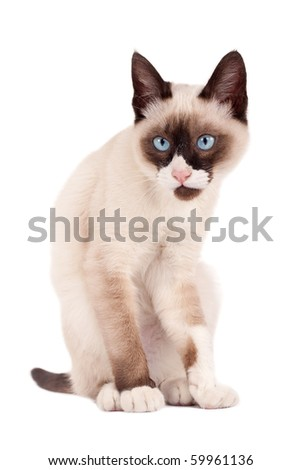 cute young siamese cat looking at the camera - stock photo