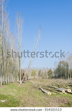 Cutting a forest of poplars: poplars file cut and cranes to move them. - stock photo