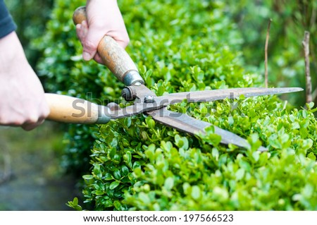 Cutting a hedge with clippers - stock photo