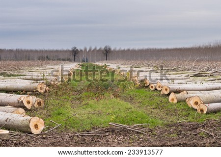 Cutting of poplars, two rows of trees cut - stock photo