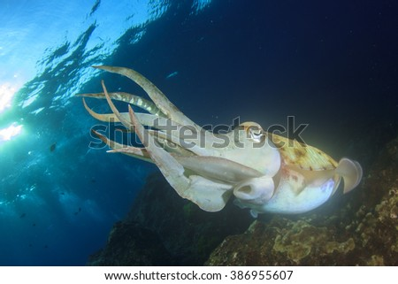 Cuttlefish - stock photo