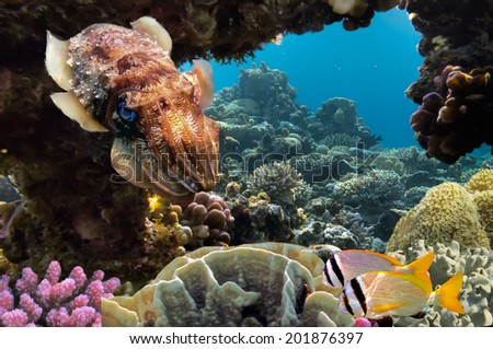 Cuttlefish on Coral Reef in the Red Sea. - stock photo