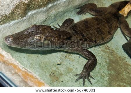 Cuvier's Dwarf Caiman ( Paleosuchus palpebrosus) - stock photo