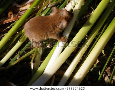 Cuys (Guinea Pigs) on Uros Floating Islands on Titicaca Lake - stock photo