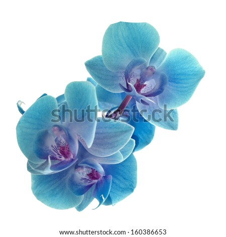 Cyan color orchid - stock photo