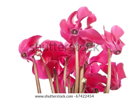 cyclamen flowers isolated - stock photo