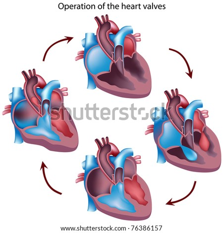 Cycle of heart valves operation - stock photo