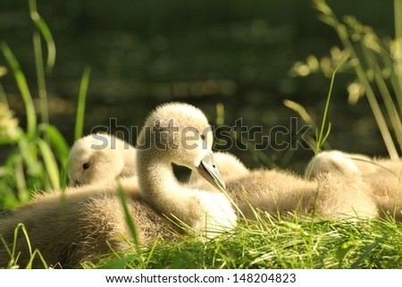 Cygnet resting on the grass in the morning. - stock photo