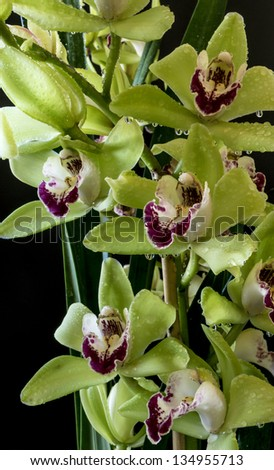 Cymbidium or boat orchids, is a genus of 52 evergreen species in the orchid family Orchidaceae - stock photo