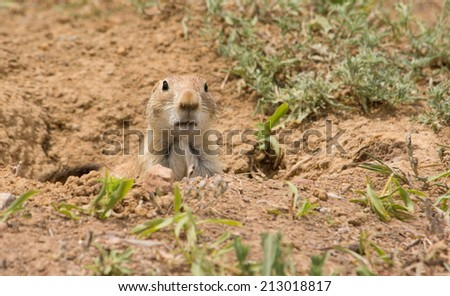 Cynomys ludovicianus, Black-tailed Prairie Dog looking out from his burrow - stock photo